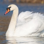 Could Castle Archdale swan have been killed by a pike?