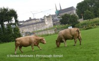Two cows take up temporary residence on the grass beside Stuart's Carpark in Enniskillen after wandering into town along the Sligo Road.  Picture: Ronan McGrade