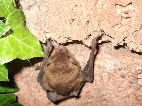 The bat habitat in Boho could be 'destroyed' according to one activist